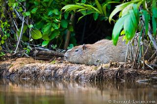 Capybara by River