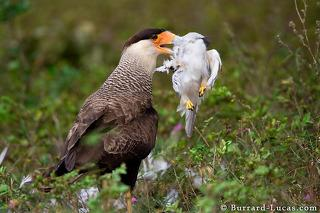 Caracara Eating Pearl Kite