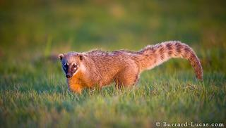 Coati at Sunset
