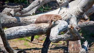 Giant Otter on a Log
