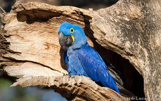 Hyacinth Macaw at Nest