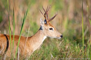 Male Marsh Deer